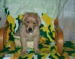 golden pup2